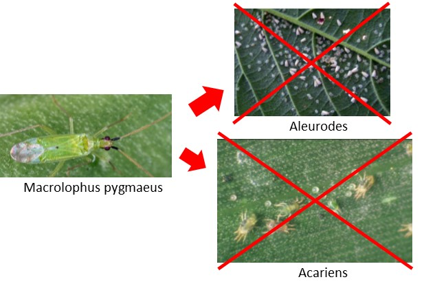 Calpop contre aleurodes et acariens