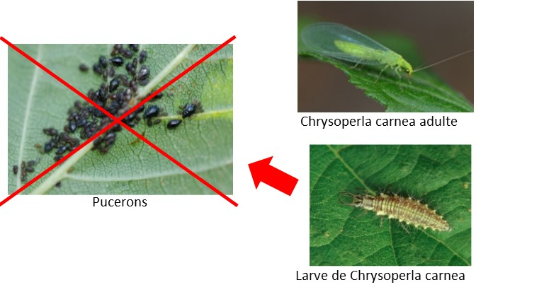 Chrysope contre pucerons