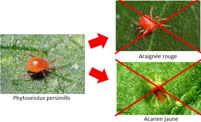 Phytoseiulus contre araignée rouge