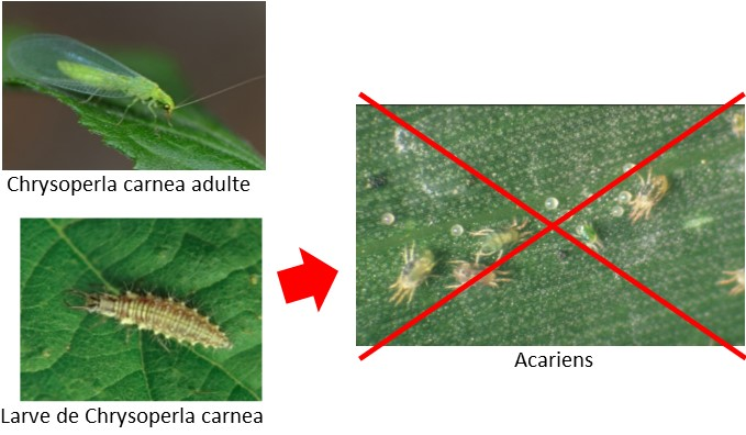 chrysope contre acariens