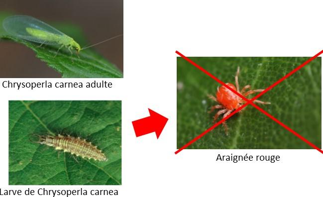 chrysope contre araignée rouge