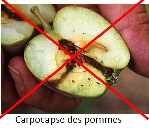 Contre la carpocapse des pommes