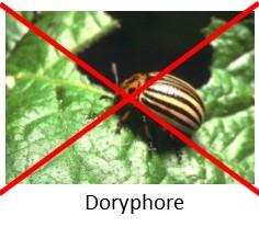 Contre les doryphores